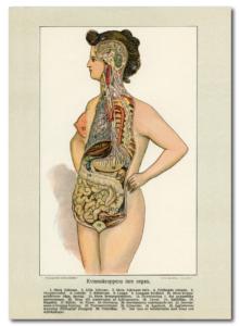 Kvinnokroppens inre organ